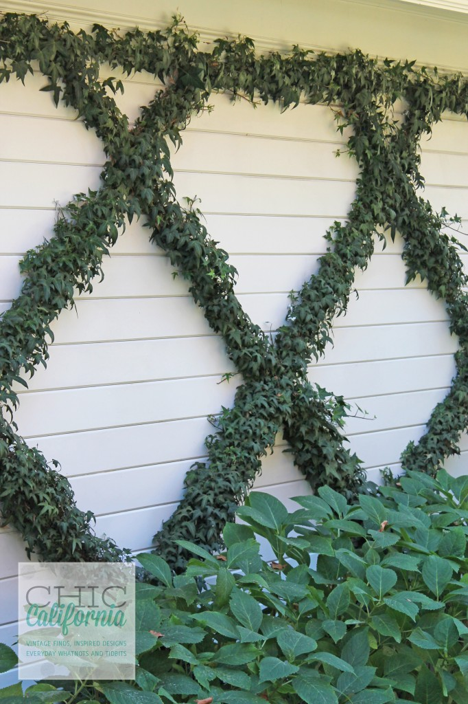 ivy on wall, criss cross ivy. diamond shaped ivy, how to make a pattern with your ivy