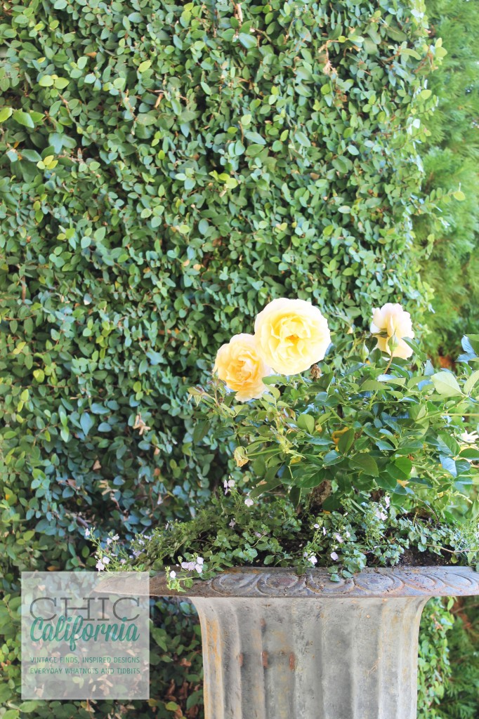 Roses in earn, yellow roses. patio flowers, ivy,